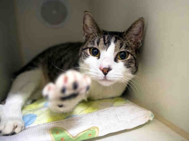 TINY TIM - A1096097 - - Manhattan  Please Share:*** TO BE DESTROYED 11/28/16 *** -  Click for info & Current Status: http://nyccats.urgentpodr.org/tiny-tim-a1096097/