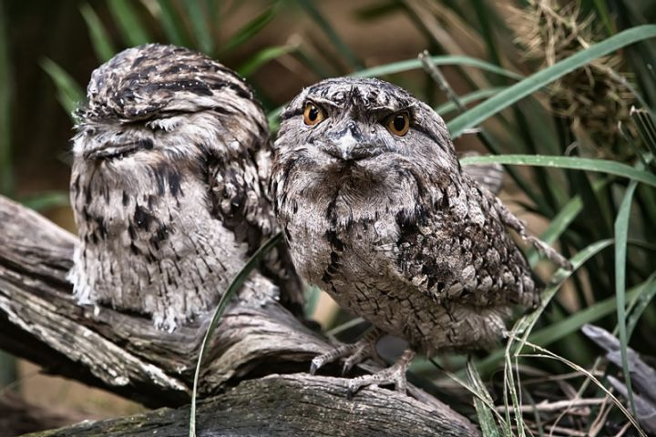 Tawny Frogmouth Owls