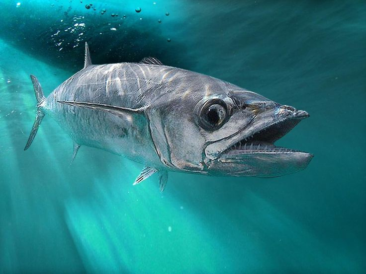 9 best king mackerel images on pinterest king mackerel for Spanish mackerel fish