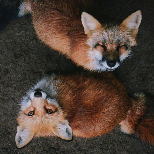 Fox circel