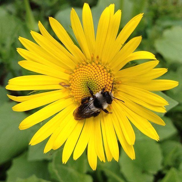 #mindfulness#achtsamkeit#spring#frühling#bee#biene#gardening#garten#natur#nature#naturelovers#landliebe#landlust#bauerngarten#gartenglück#gartenliebe#wachstum##growth#bodendecker#floral#structure#life#leben#blossoms#blüten#yellow#gelb#leopardsbane#blütenblätter#gemswurz