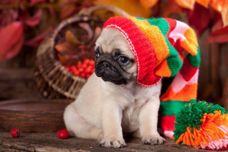 Little Boy Cute Wallpaper Cute Pug Puppy Pug Wallpaper Screensaver Pugs Pug