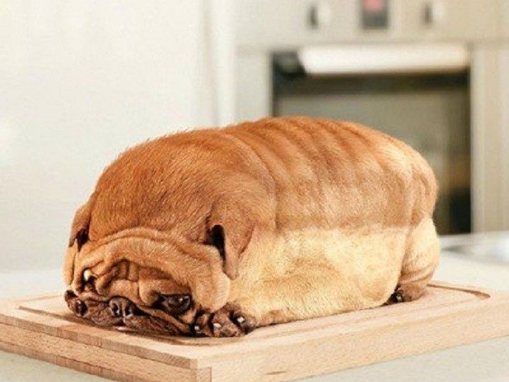 Amazing Chunky Chubby Adorable Dog - 757c69a9bdfff8aa2bb9e9fa69d93843--fat-dogs-bread  You Should Have_696747  .jpg
