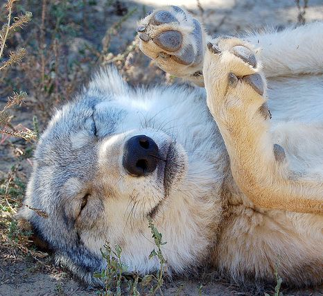 17 Least Majestic Wolves