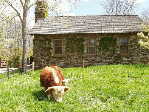 Miniature Hereford cow. So cute!