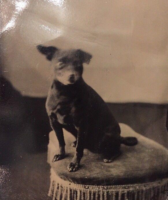Victorian ANTIQUE Dog Photo Cute Vintage Chihuahua Original TIntype Photo