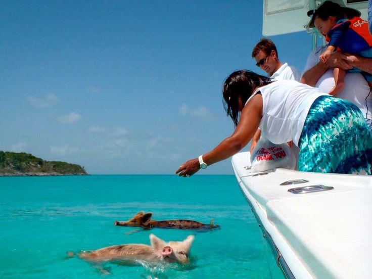 Alimentar a cerdos nadadores en Exuma, Bahamas.