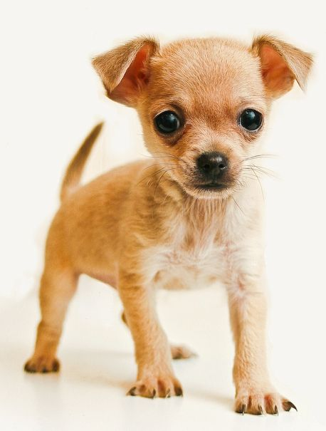 I want to get a little Chihuahua puppy...awwww