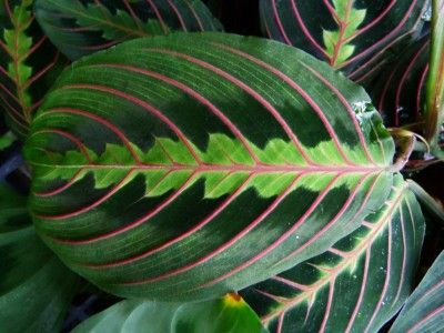 How To Grow Prayer Plants (Maranta leucoreura) & Prayer Plant Propagation - Most people are familiar with how to grow prayer plants. The prayer plant is easy to grow but has specific needs. Learn what those needs are in this article, including tips for propagating these plants.
