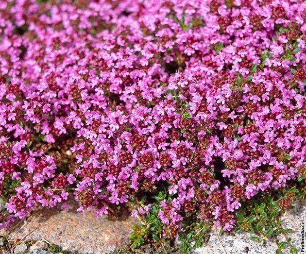 Mateřídouška (Thymus) je rod rostlin z čeledi hluchavkovitých.
