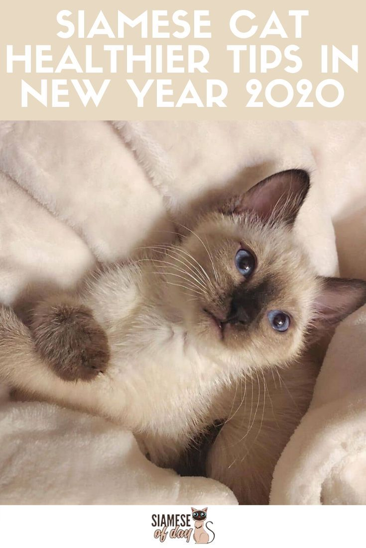 Siamese Cat Life Better And Healthier In New Year 2020 In 2020 Siamese Cats Cats Kitten Care