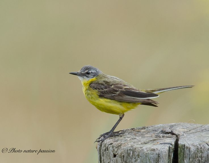 Yellow wagtail - null