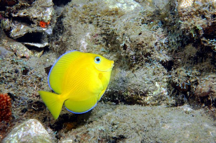 44 Best Images About Saltwater Fish On Pinterest Angel