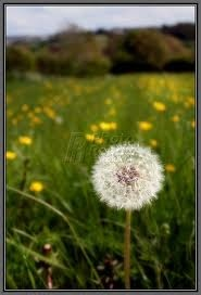 When I was a little girl it was all about dandelions and making wishes  :)