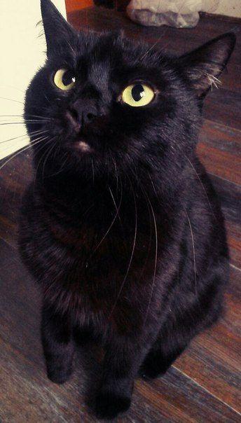 Черная кошка в нашей квартире