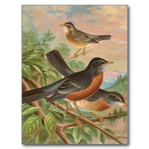 American Robin Vintage Bird Illustration