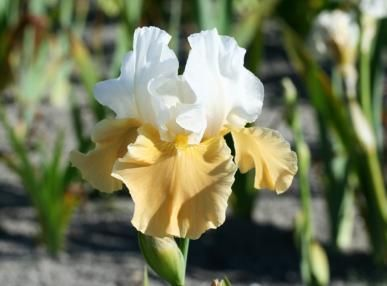 "Tall Bearded Iris (Fall-Planted) - ""Apricot Frosty"