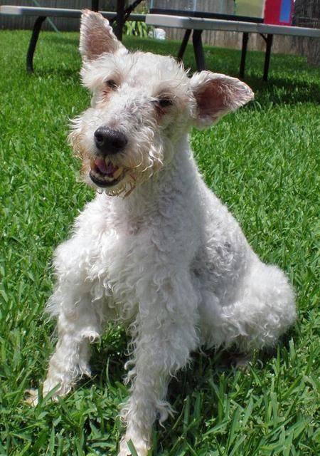 143 best Wire Haired Fox Terrier images on Pinterest | Animals ...