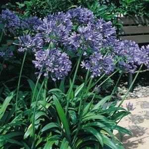 blue nile lilies | Lily of the Nile Seeds - Agapanthus African Blue Lily Flower Seed