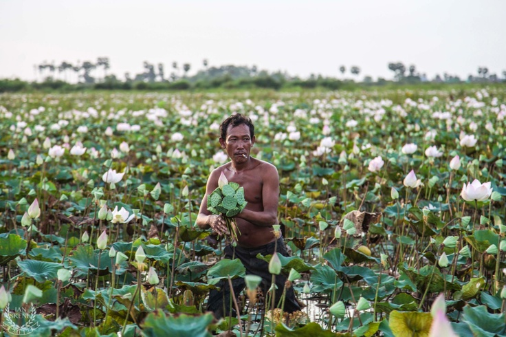 Lotus Flower Field, Mekong River, Cambodia