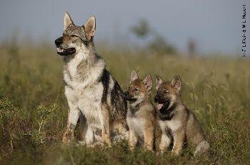 Elevage Des Plaines de l'Est - eleveur de chiens Chien-loup tchécoslovaque