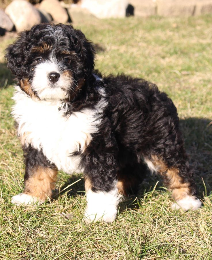 Abbigail Bernedoodle doggie for sale in New Haven
