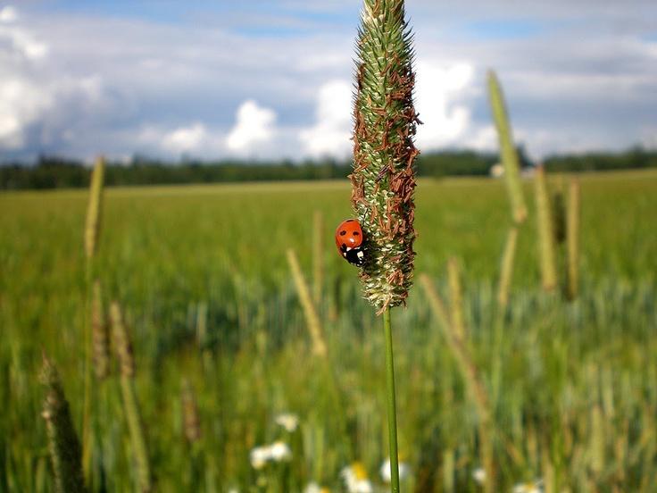 Lady bug in Nukari, Finland