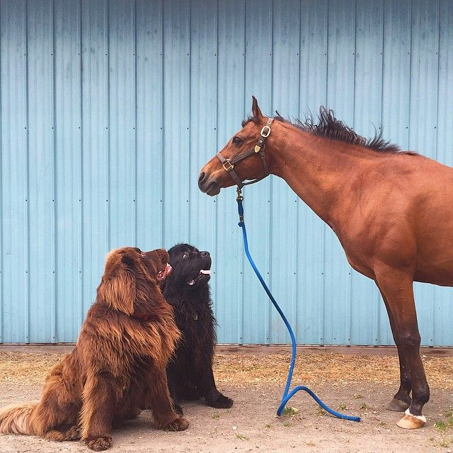 Friendship Between A Boy, His 2 Giant Dogs & A Horse - Album on Imgur