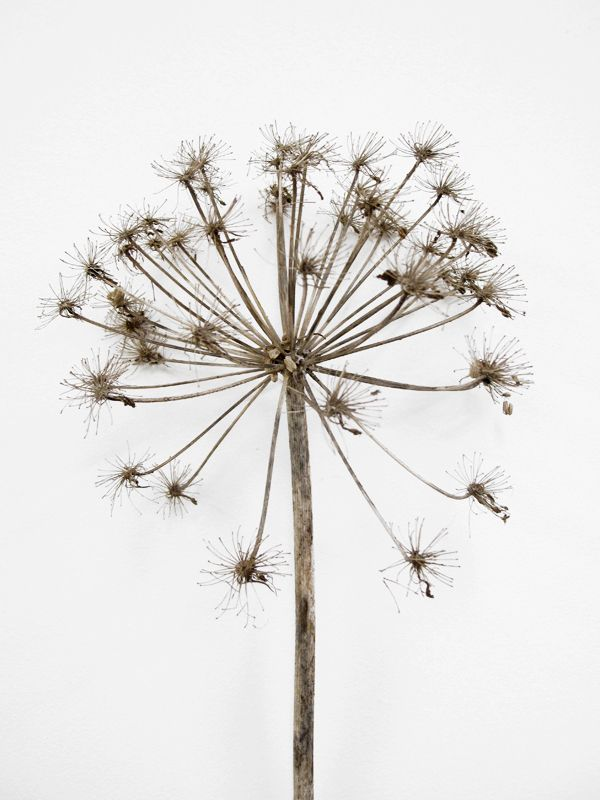 Seed Head // I thought this picture would be a great picture to draw with pencil