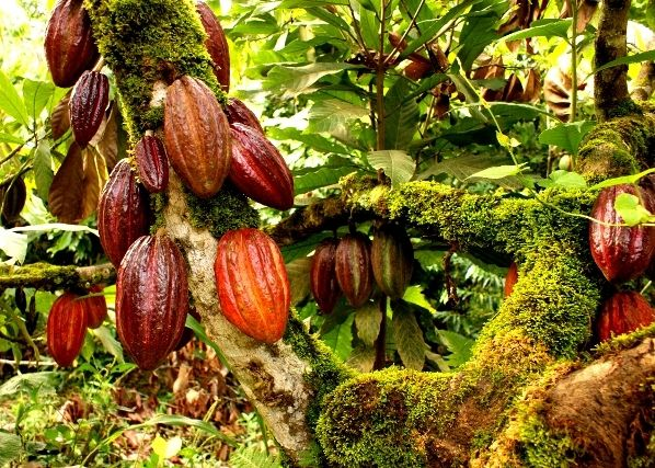 Farmers count losses as cocoa price drops 50%, naira strengthens: Nigeria's cocoa farmers who had been enjoying a 13 month roller coaster…