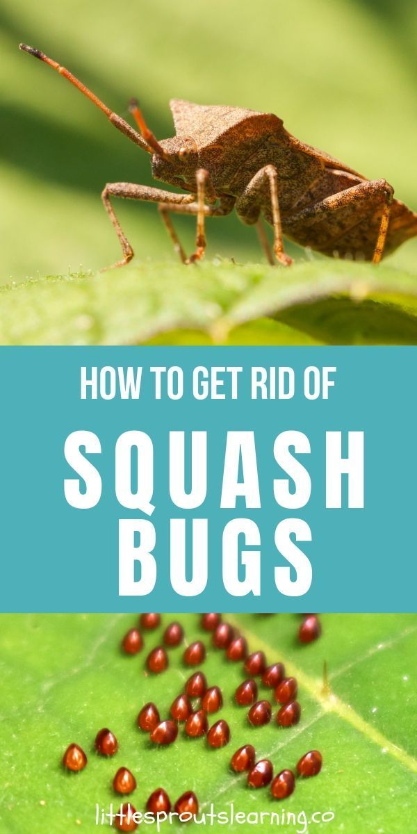 How To Get Rid Of Squash Bugs Squash Bugs Pest Control Squash