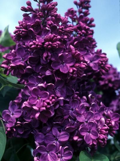 "Syringa vulgaris ""Yankee Doodle"" - lilacs -  darkest purple, heavy fragrance (8'-10')"