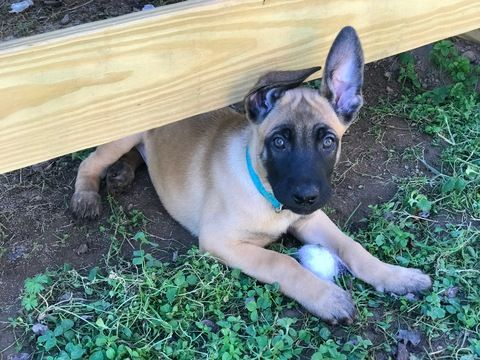 Litter of 4 Belgian Malinois puppies for sale in HOLLYWOOD, AL. ADN-52391 on PuppyFinder.com Gender: Male(s) and Female(s). Age: 8 Weeks Old