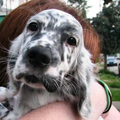 This unique puppy face belongs to none other than the English Setter.