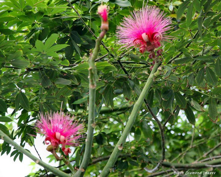 Pseudobombax elipticum Shaving Brush Tree, Gardens By