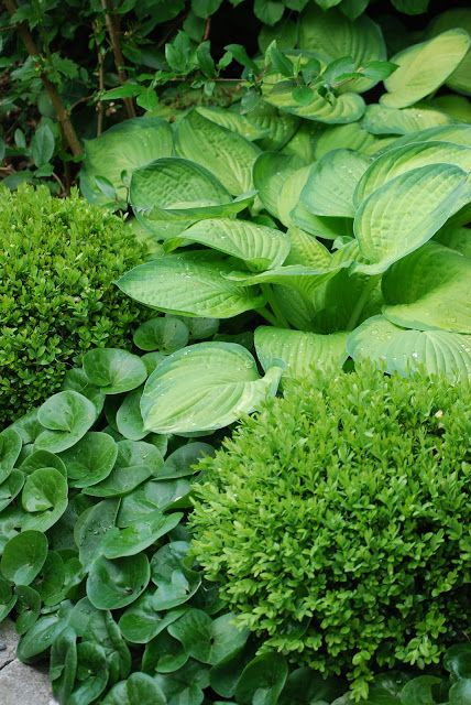 PLANT COMBINATIONS [colour, texture]    ...   Box, Hosta & Asarum -  semi shade or shade