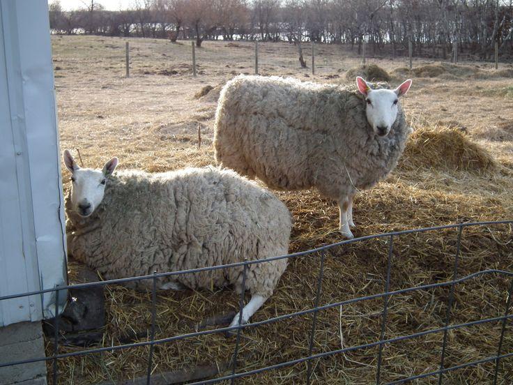 Border Cheviot Ewes