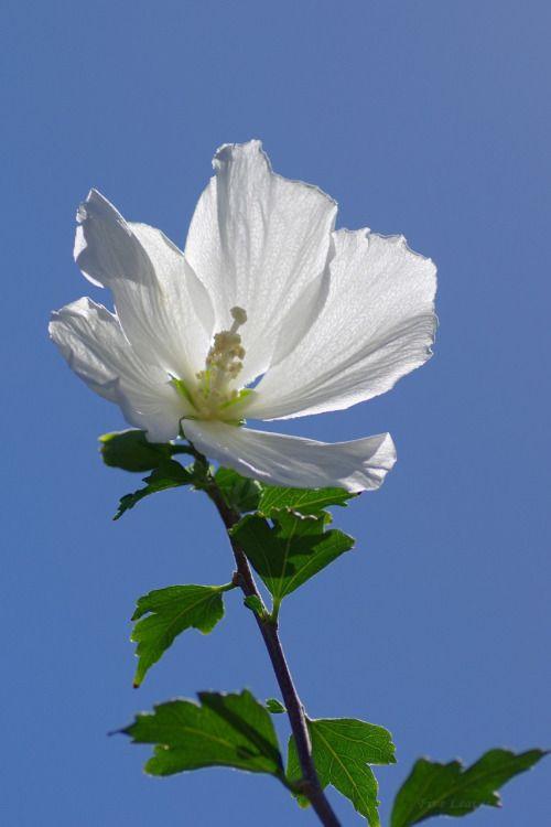 木槿むくげ Hibiscus syriacus