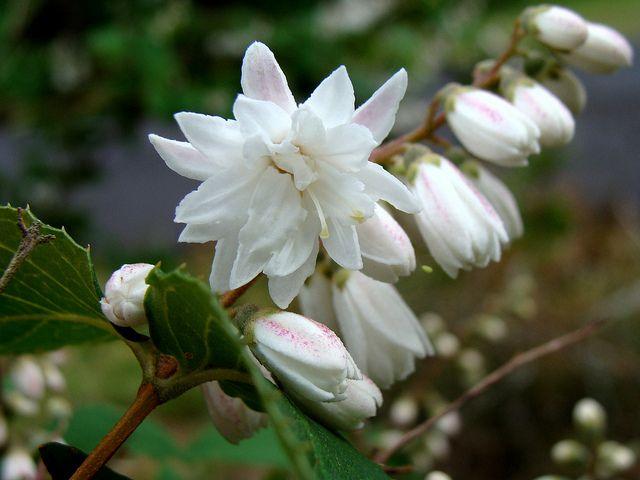 ΔΕΥΤΣΙΑ Φυλλοβόλοι πολύ ανθεκτικοί θάμνοι με ωραία και εντυπωσιακή ανθοφορία τους μήνες Μάιο και Ιούνιο. Φτάνει σε ύψος το 1,50 με 2 m. Τα άνθη της είναι χρώματος άσπρο ή ροζ. Ανθίζει τους μήνες Μάιο με Ιούνιο με εύρος ανθοφορίας 15-20 ημέρες. Προτιμά ηλιαζόμενα, ελαφρά και κανονικά αρδευόμενα εδάφη. Αντέχει στο ψύχος, στη μερική σκιά αλλά όχι στους ανέμους.  Καλλωπιστικοί θάμνοι - Φυταγορά Σερρών