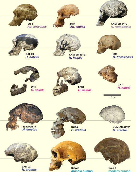 Comparison of Homo naledi skulls to skulls of other hominin species. Image credit: Hawks et al, doi: 10.7554/eLife.24232.