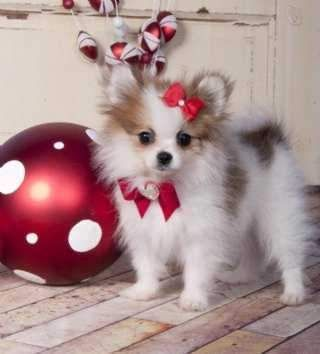 pomeranian puppies |