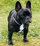 A cross between a French Bulldog and a Pug is a Frenchie Pug hybrid. photo by DailyCandy.com