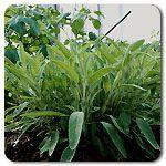 Organic Common Sage