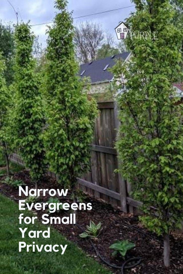 Narrow evergreen trees for year-round privacy in small ...