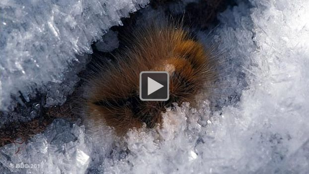 The wooly bear caterpillar lives for 14 years before it can complete it's life's purpose and become a moth!