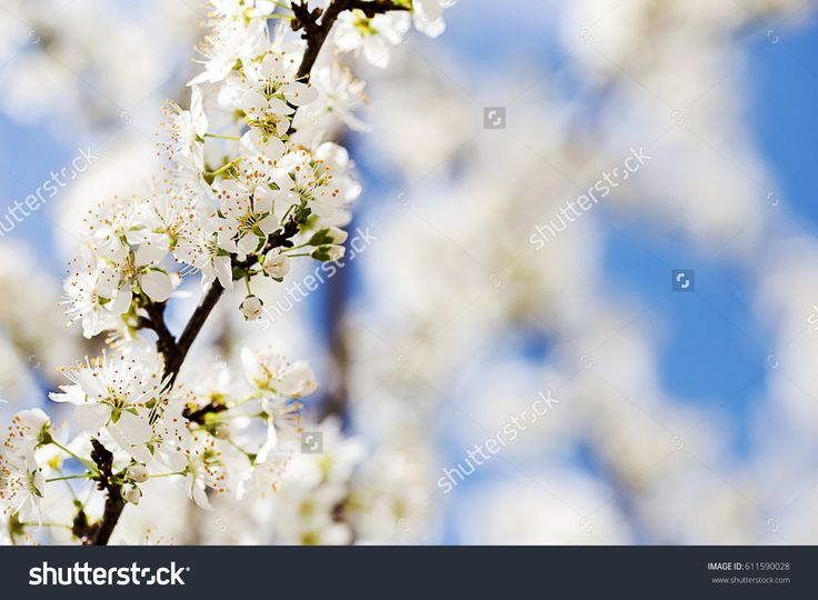 spring season concept with flowering branches over blue sky