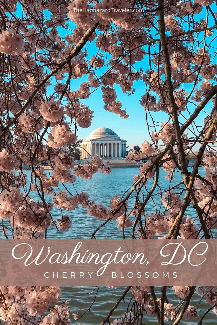 Where To See Cherry Blossoms In Dc Map Insider S Guide Video Video In 2021 Cherry Blossom Washington Dc Washington Dc Trip Planning Pictures Washington Dc