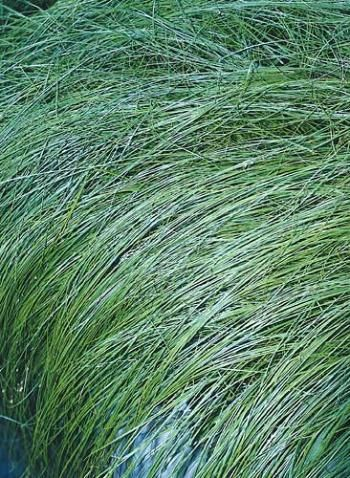 279 best Carex images on Pinterest Ornamental grasses, Garden - carex bronze reflection