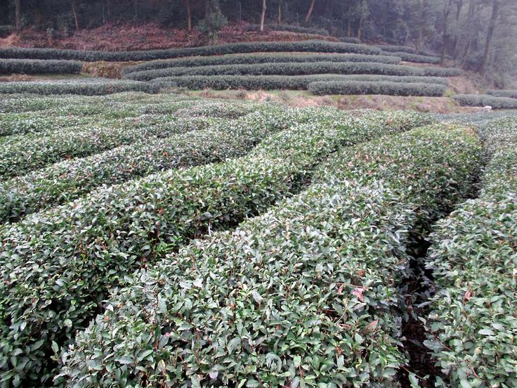 The Dragon Well Tea Plantation at Hangzhou produces some of the finest green tea in China.