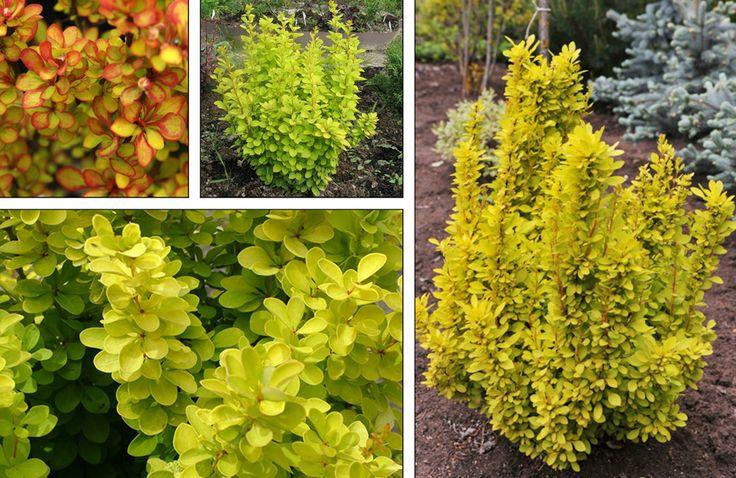 Лиственные кустарники Барбарис Тунберга Maria по разумной цене - Зеленый сад